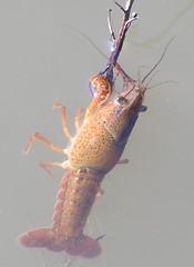 Lagostim de água doce (Procambarus clarkii)