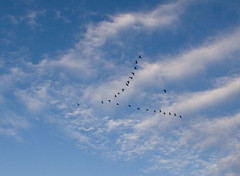 "IMG_3677: Flying Geese • <a style=""font-size:0.8em;"" href=""http://www.flickr.com/photos/54494252@N00/389602968/"" target=""_blank"">View on Flickr</a>"