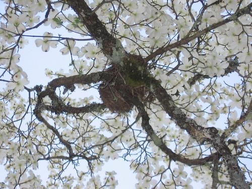 Nest in dogwood