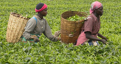 Tea Harvest, Kenya