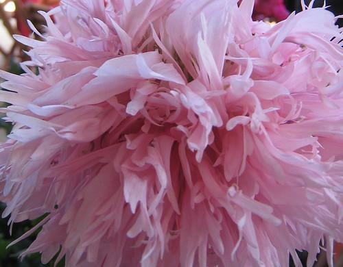 Pink flower outside Bulgarini Gelato