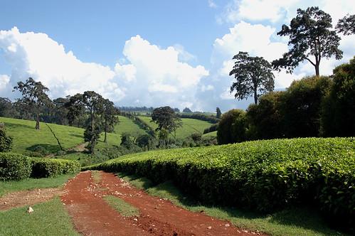 El paisatge és ondulat i verd