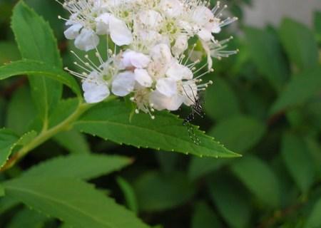 Mosquito negro y blanco 2