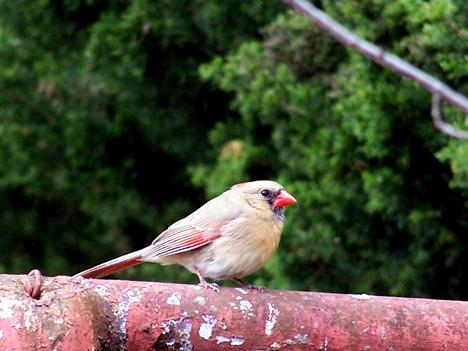 Girl Cardinal 1