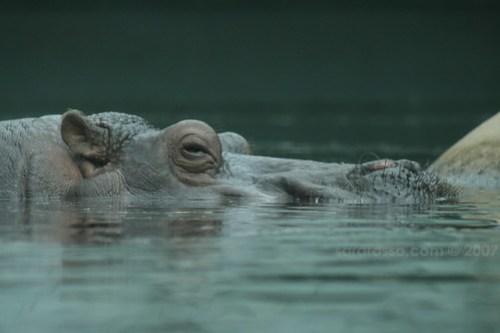 Hippo Time in Berlin Zoo