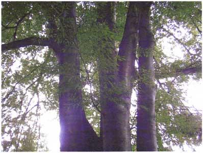 Fern-leafed-Beech---leaves-