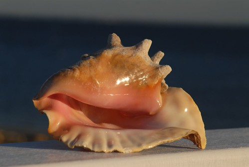 Cayman conch shell