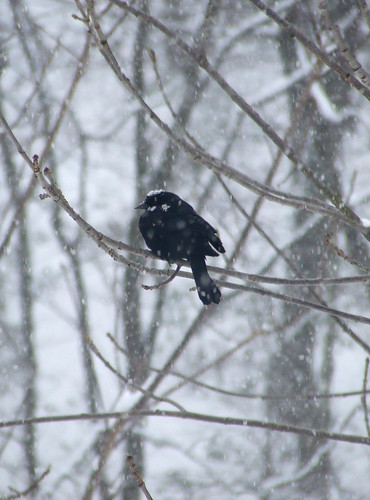 red-winged blackbird in snowstorm 2