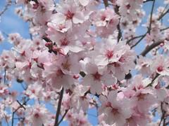mandelblüte in deidesheim