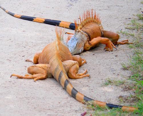 Placencia iguanas