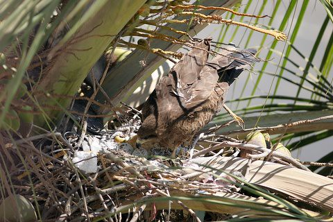 Black Kite 6 Mar 07 three