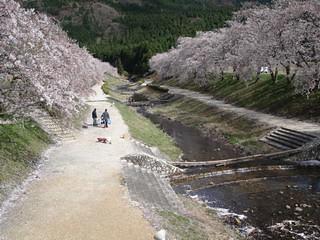 blossoms along the Ugui River, Japan