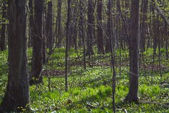 Hickory Woods in Spring