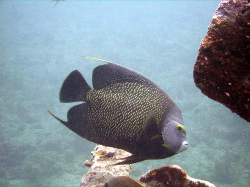 French Angelfish on the Benwood