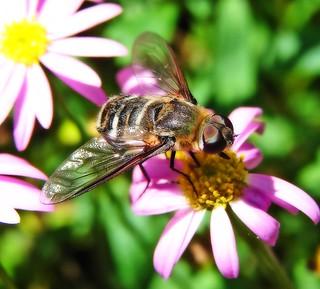 Big Bee ?