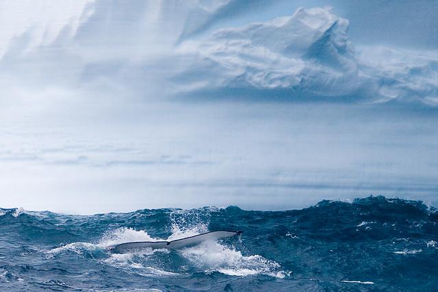 Humpback whale fluke, diving under an iceberg,  Southern Ocean