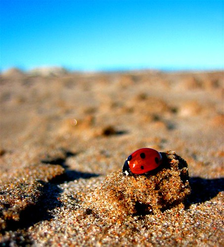 Coccinellidae II - Mariquita in the beach by yamiq.