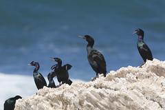 Pelagic and Brandt's Cormorants at Montaña de ...