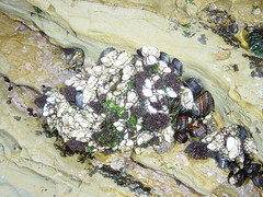Barnacles, shellfish, green algae at low tide
