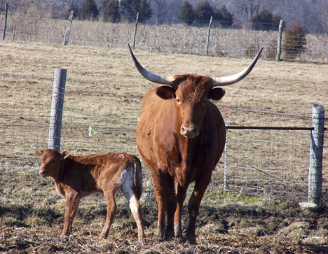 Brown Longhorn & Calf