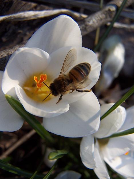 Bee in Crocus
