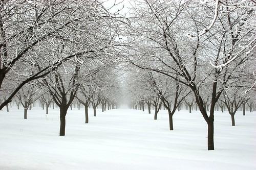 Michigan Orchard in Snow