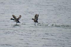Ring-necked Duck taking flight