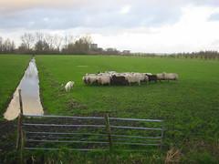 Ca jugant amb ovelles