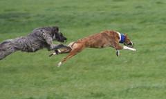 dog racers