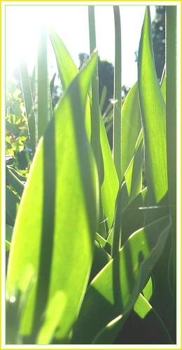 Tulpen IV