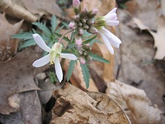 Wildflower from Hickory Run Trail - March 25 2007