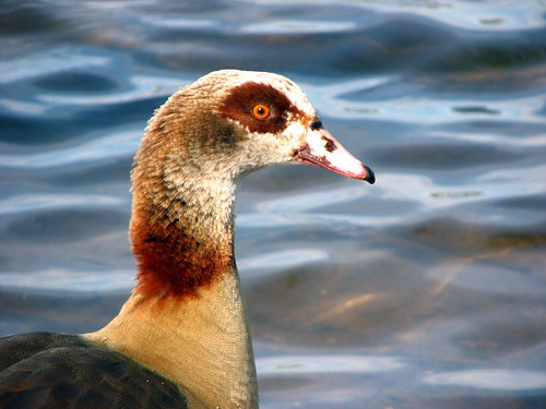 No open season on the Egyptian Goose please