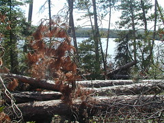 Blowdown in Boundary Waters wilderness, 1999