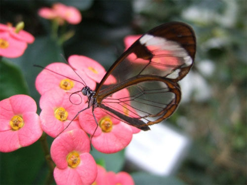 glasswing07