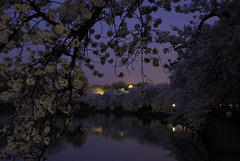 DSC_4507 - Moonlight Cherry Blossoms