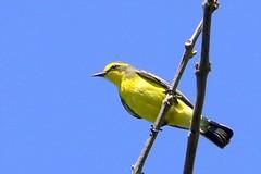 un Suiriri Amarillo, reserva ecologica
