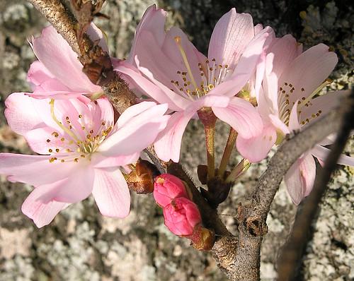 Prunus subhirtella rosea