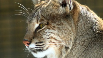 Worksheet. Bobcat or Lynx  Michigan in Pictures