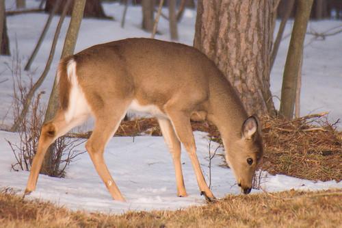 White-tailed Deer Feeding