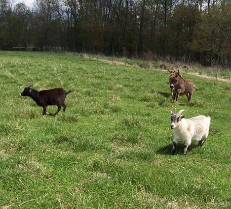 Running Goats