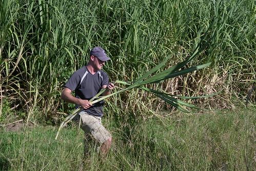 sugarcane robbery 3