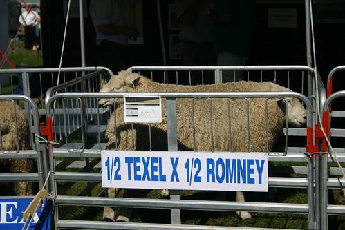 sheep at county fair - Wanaka