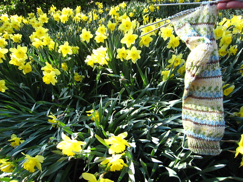 Traveling sock among daffodils