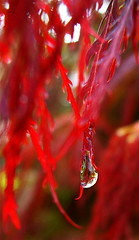Maple Dewdrop