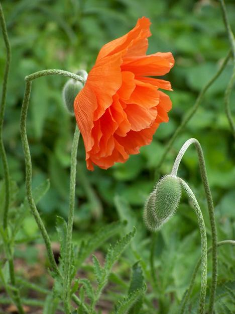 Poppy Profile