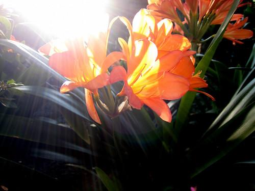 Orange flowers and sun