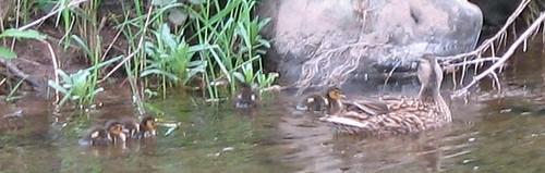 ducklings2