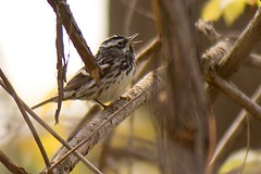 Singing Black-and-white Warbler