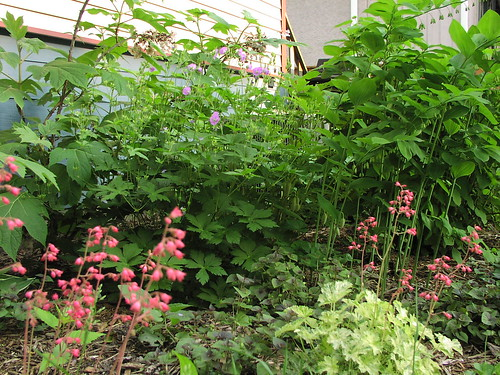 Heuchera with wild geranium and Solomon's seal