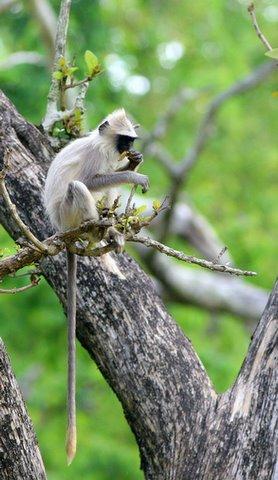 Langur eating leaves